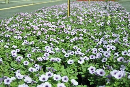 'Wave petunia'  spreading growth habit, with the ability to fill flower beds with their blooms that sprout all along their stems, which can reach up to 4 feet.