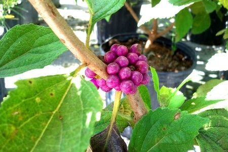 Beauty Berry Native to Florida