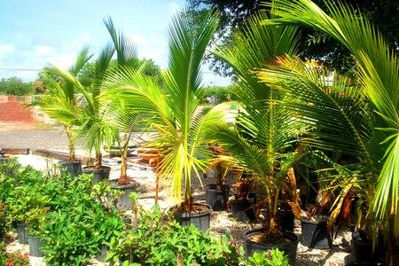 Coconut palms and Hybrid Crown of thorns
