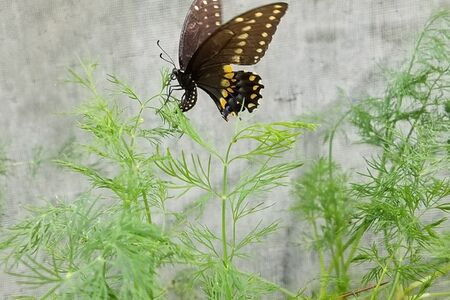 swallowtail butterfly laying eggs on our dill